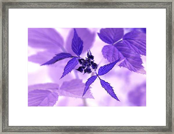 Blackberry In Lavender Negative Framed Print