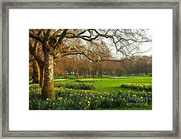 Blooming Daffodils In St Jamess Park In Framed Print