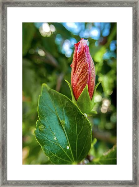 Blooming Hibiscus Framed Print