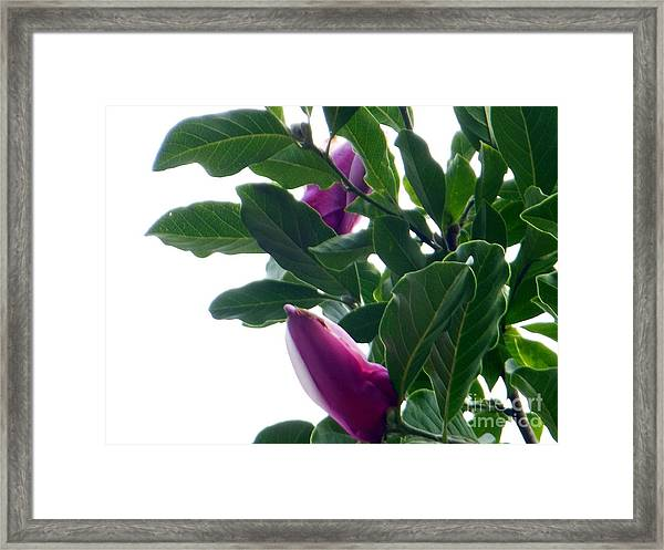 Blossoming Magnolias Framed Print