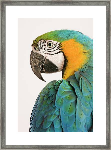 Blue And Gold Macaw Ara Ararauna Framed Print