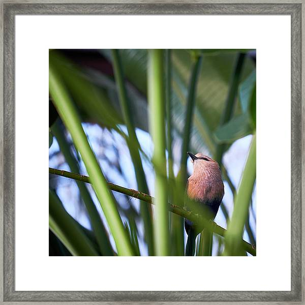 Framed Print featuring the photograph Blue-bellied Roller by Whitney Goodey