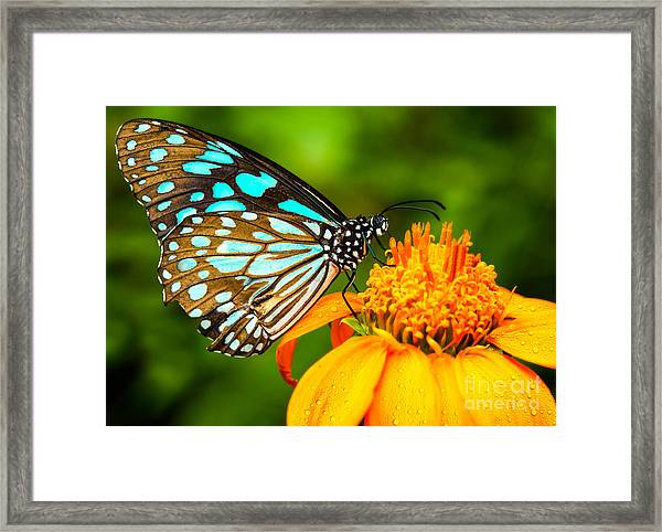 Blue Butterfly Fly In Morning Nature Framed Print