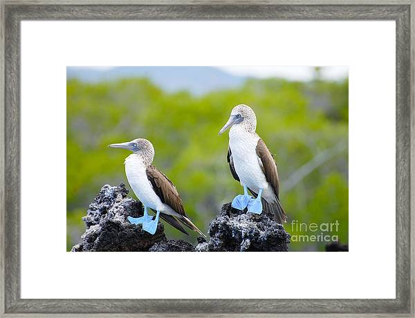 Blue Footed Boobies - Galapagos - Framed Print