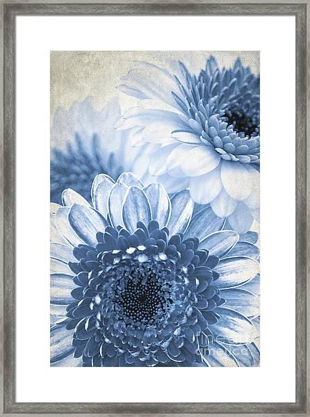Blue Gerbera Framed Print