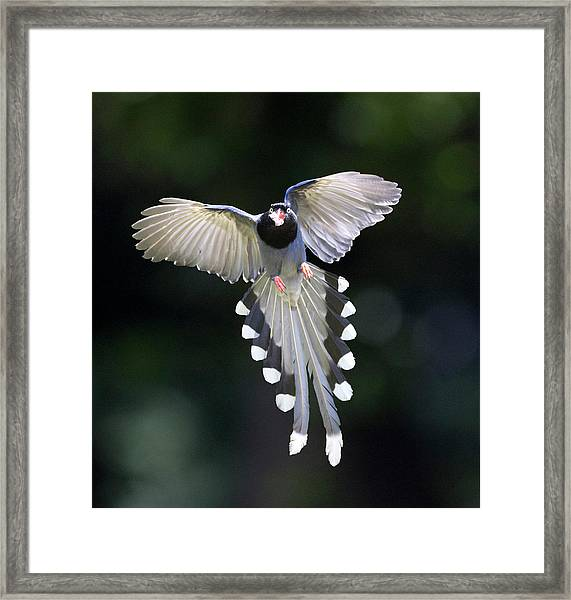 Blue Magpie Flying Framed Print