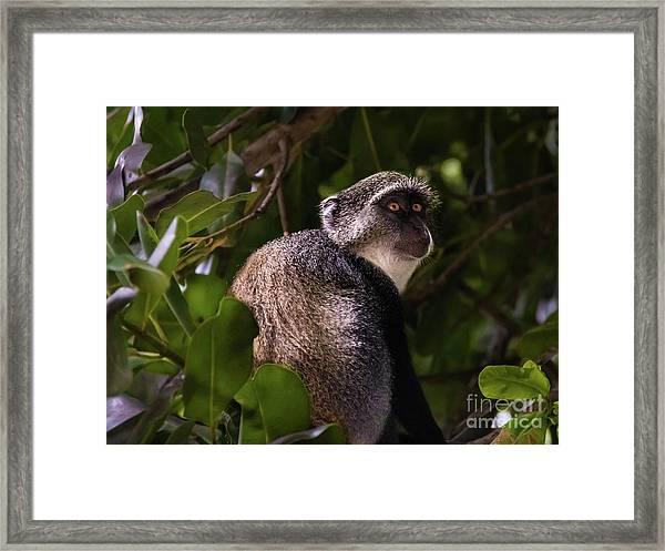 Blue Monkey, Zanzibar Framed Print
