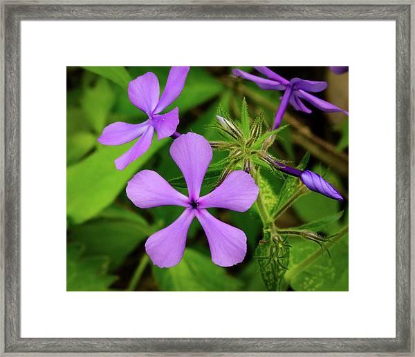 Blue Phlox Framed Print