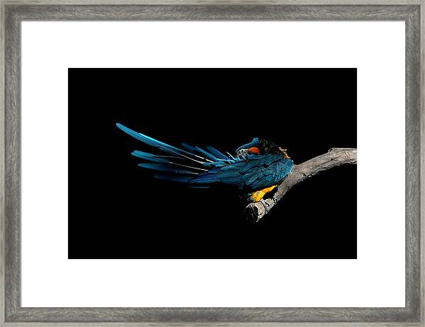 Blue-throated Macaw Preening Framed Print