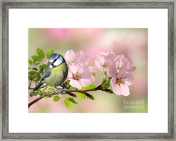 Blue Tit On Apple Blossom Framed Print