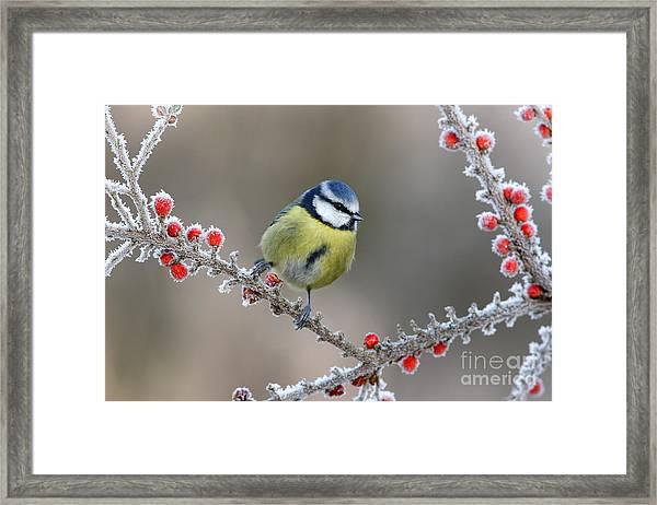 Blue Tit Parus Caeruleus, On Berries In Framed Print