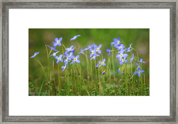Blue Wild Flowers Bluets Framed Print