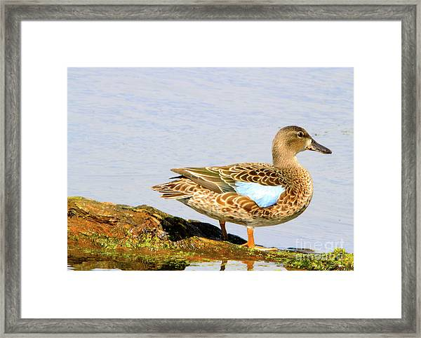 Blue-winged Teal Female Duck Framed Print