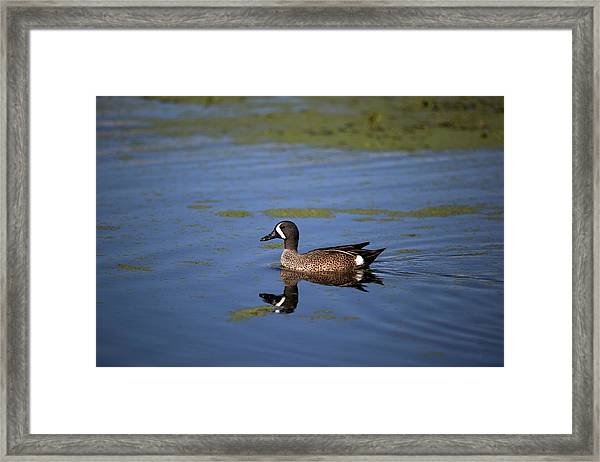 Blue Winged Teal Framed Print
