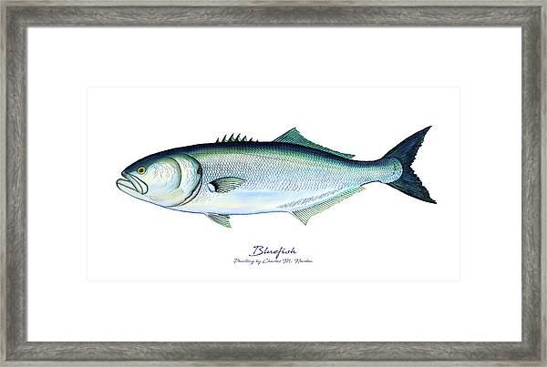 Bluefish Framed Print