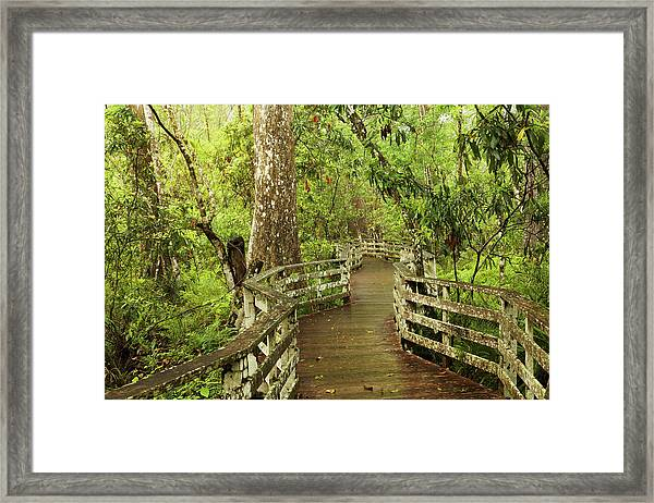 Boardwalk Through Swamp And Bald Framed Print