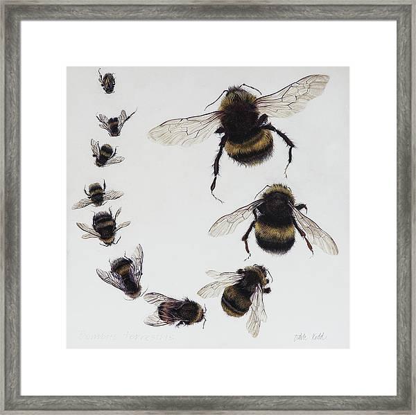 Bombus Framed Print