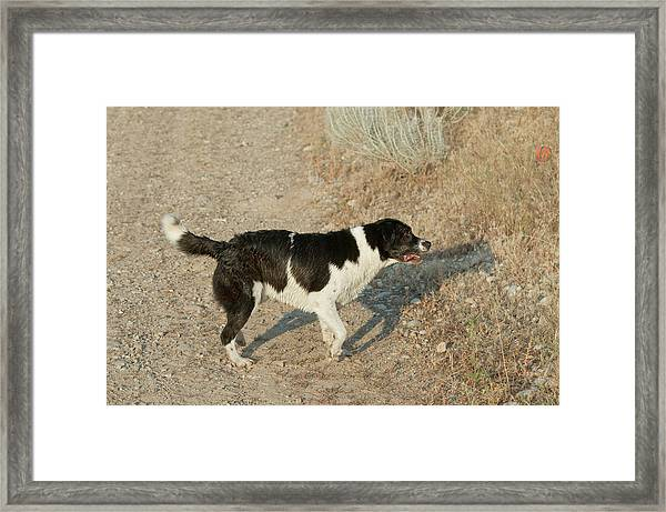 Border Collielabrador Retriever Mix Framed Print by William Mullins
