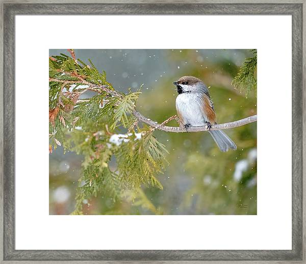 Boreal Chickadee In Winter Framed Print