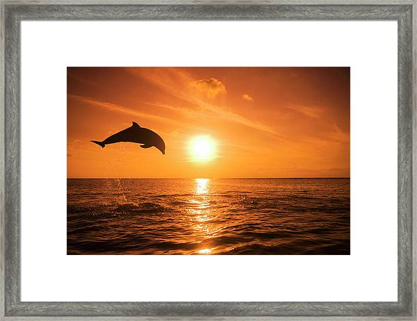 Bottlenose Dolphin Tursiops Truncatus Framed Print by Rene Frederick