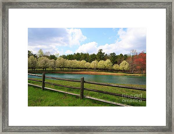 Bradford Pear Trees Blooming Framed Print