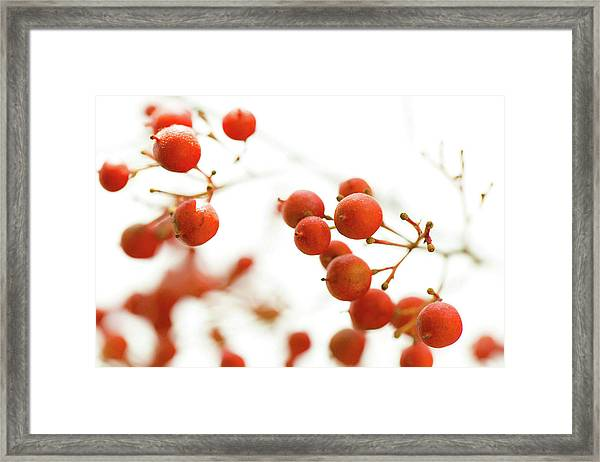 Brazilian Pepper 0493 Framed Print