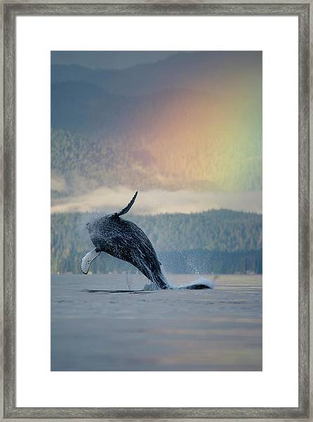 Breaching Humpback Whale And Rainbow Framed Print