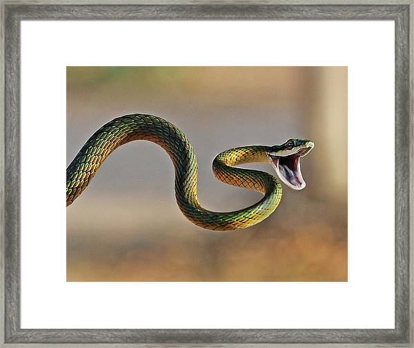 Brightly Coloured Parrot Snake Framed Print by Suebg1 Photography