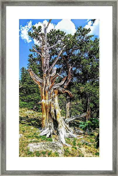 Framed Print featuring the photograph Bristlecone1 2018 by Aaron Bombalicki