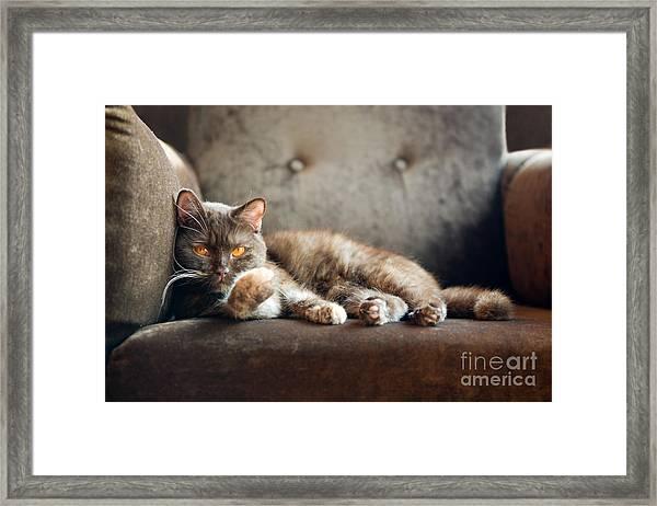 British Cat At Home Framed Print