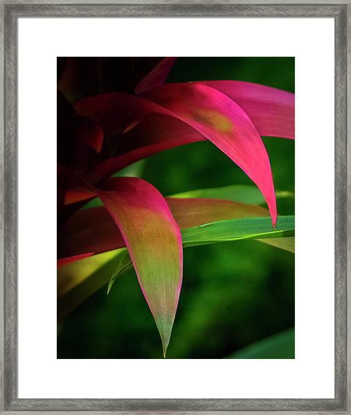 Bromelia Framed Print
