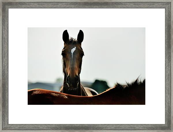 Brown Horse Back Lit Framed Print by Akrp
