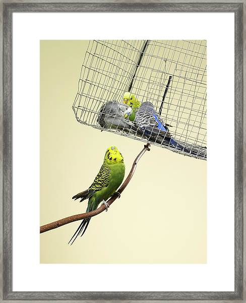 Budgie Looking At Other Caged Budgies Framed Print