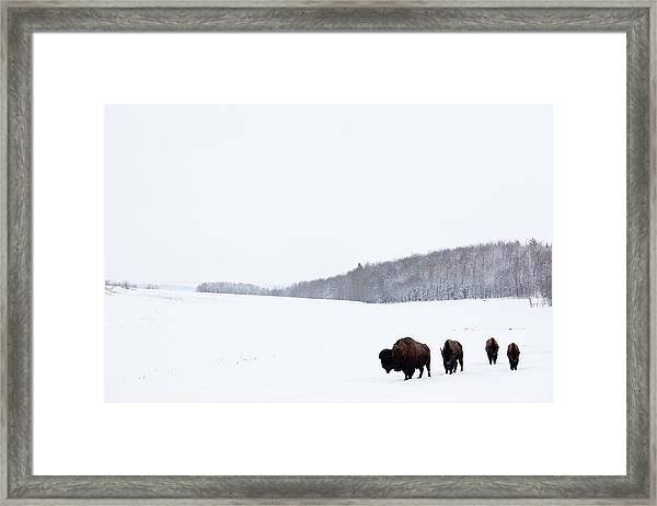 Buffalo Or Bison On The Plains In Winter Framed Print