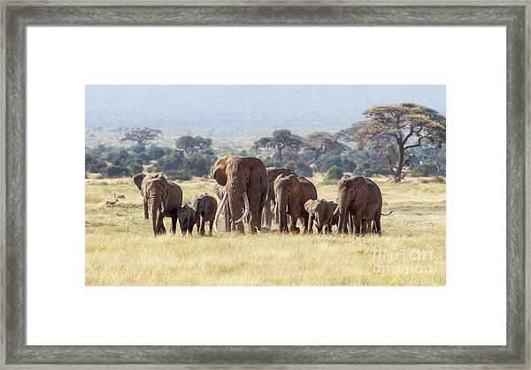Bull Elephant With A Herd Of Females And Babies In Amboseli, Kenya Framed Print