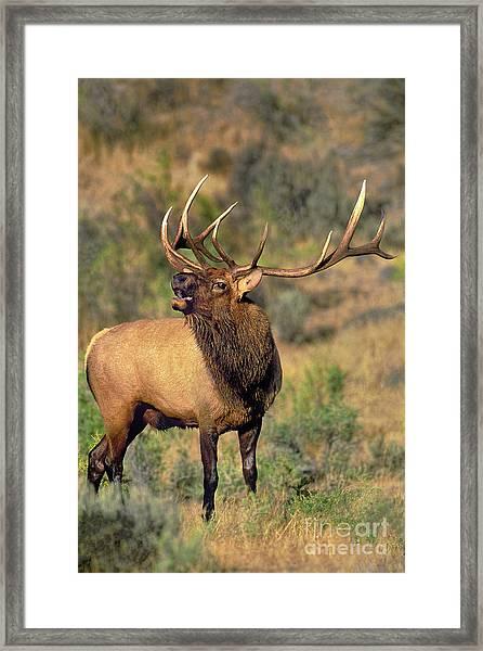 Bull Elk In Rut Bugling Yellowstone Wyoming Wildlife Framed Print