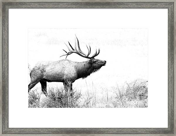 Bull Elk In Rut Framed Print