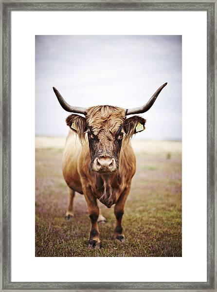 Bull In Field Framed Print