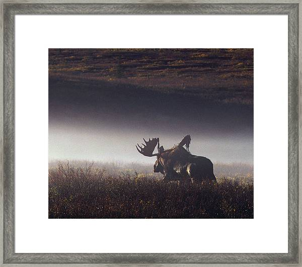 Bull Moose Alces Alces Walking Through Framed Print