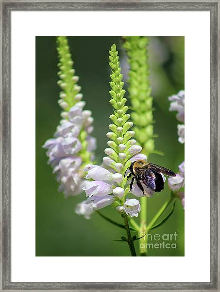 Bumblebee On Obedient Flower Framed Print