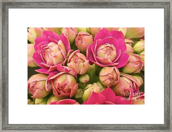 Burgeoning Little Wonderful Pink Framed Print by Caglayan Unal Sumer