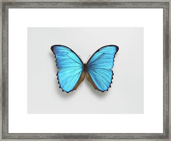 Butterfly Framed Print by Adrian Burke