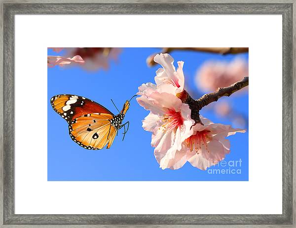 Butterfly And Pink Almond Tree Blossom Framed Print