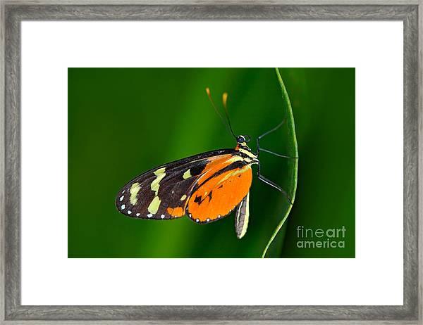 Butterfly Heliconius Hacale Zuleikas Framed Print by Ondrej Prosicky