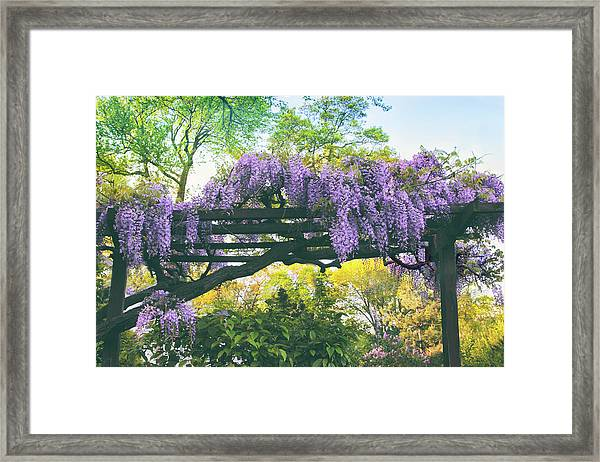 A Whiff Of Wisteria   Framed Print