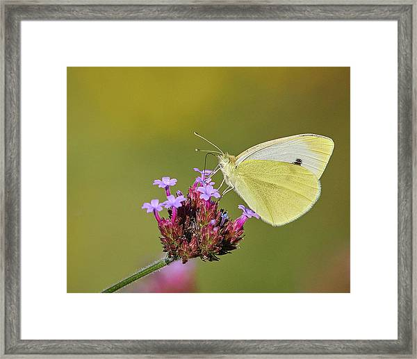 Cabbage White Butterfly Framed Print