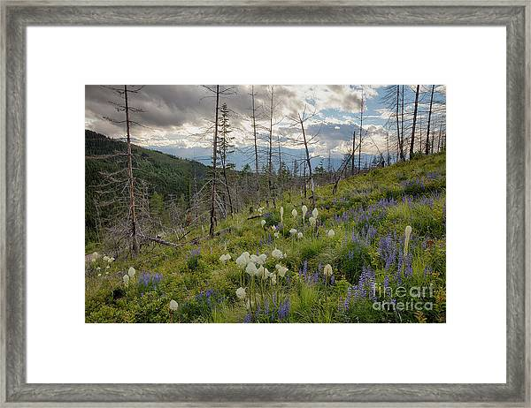 Cabinet Mountain Beargrass Framed Print