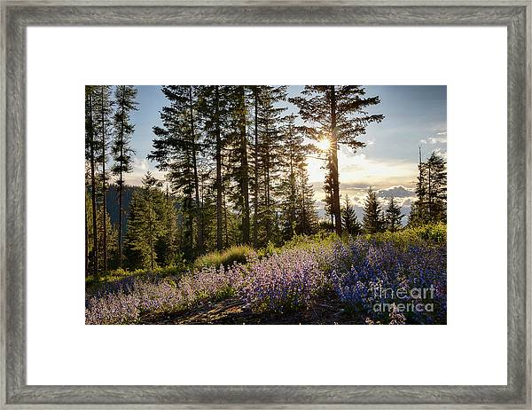 Cabinet Mountain Bluebells Framed Print