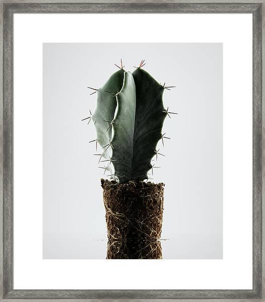 Cactus On White Background Framed Print