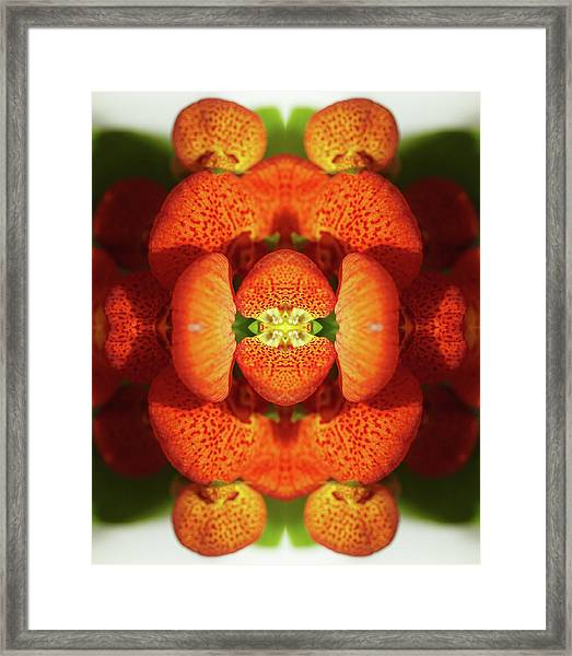 Calceolaria Flower Framed Print by Silvia Otte